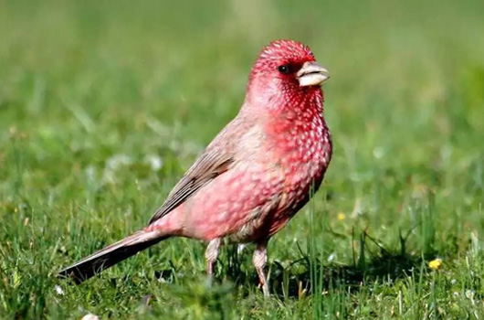Spotted Great Rosefinch